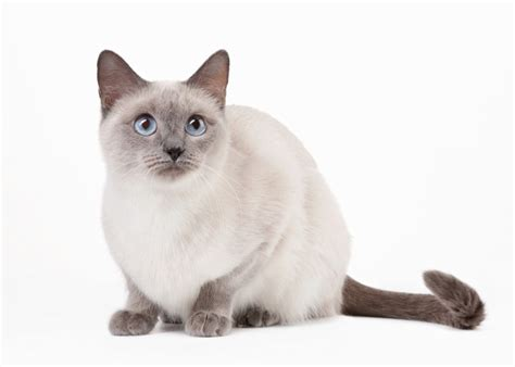 Thai Cats and Kittens for sale in the UK   Pets4Homes