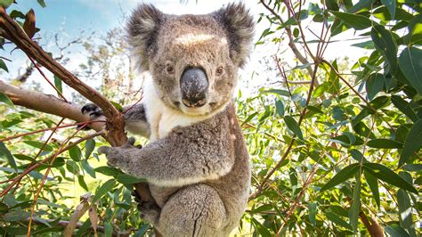 Climate Change Is Forcing Koalas to Leave Trees to Find
