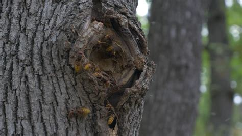 Wasp Nest In A Tree Stock Footage Video 5183030   Shutterstock