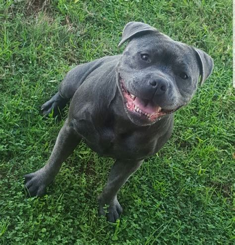 Staffordshire bull terrier puppies available | 2 months